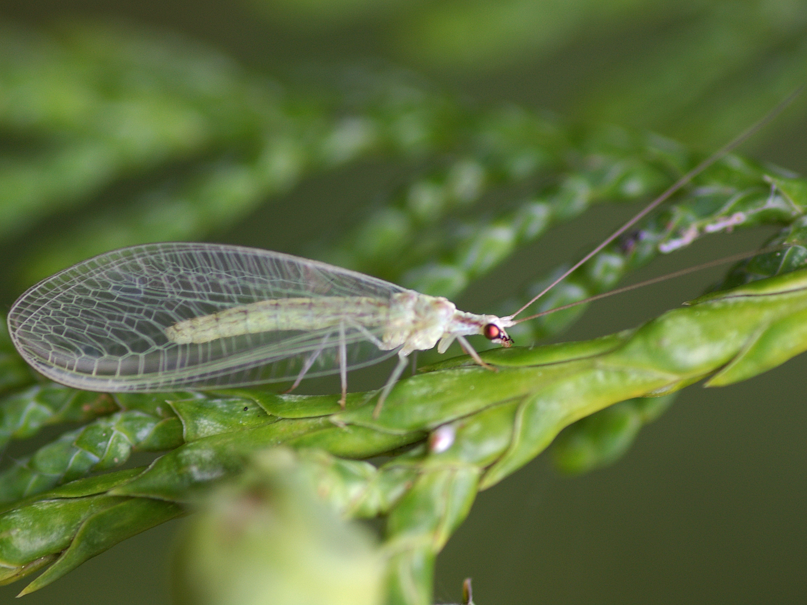 Backyard Biology: Insects (Neuroptera - Lacewings ...
