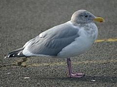Glaucous-winged Gull - winter plumage