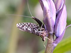 Backyard Biology Insects Thysanoptera Thrips